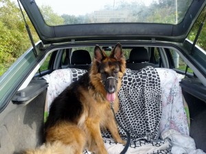 Jez back in the car after her autumn dog walk 2012