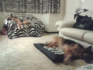 Both dogs zonked out at night, Myschka on the chair, Jez on her cushion