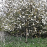 A lone Wild Cherry on my dog walk 2013-04-28